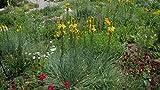 1 Strater Plant of Asphodeline Lutea - King's Spear