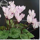 New Rare Cyclamen Persicum Wild Species Pale Pink White Magenta Nose Flower, 5+ Seeds