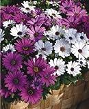 (Gerbera *Ambizu*) 50pcs/bag Gerbera Seeds,barberton Daisy Flower Garden,easy to Plant Salmon Pink Gerbera (913)