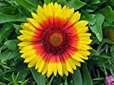 Mesa Bright Bicolor Blanket Flower - Gaillardia - Live Plant - Quart Pot