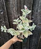 """Tradescantia Sillamontana Succulent Plant shown in 4"""" pot"""