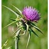 Herb Seeds - Milk Thistle - 200 Seeds