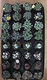 8 Mesembryanthemum Aizoaceae Collection Mimicry Plants