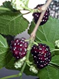 15 Red MULBERRY Morus Rubra Fruit Bush / Tree Seeds
