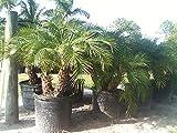 Phoenix roebelenii, Pygmy Date Palm, Roebelenii Palm - 3 Gallon Live Plant