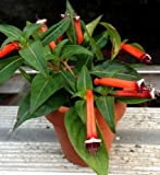 "CUPHEA IGNEA ""MEXICAN CIGAR PLANT"" OR ""FIRECRACKER PLANT"" 2 1/4 INCH PLANT"