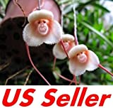 Monkey Face Orchid Seeds F1, Rare & Beautiful Gardening Plants