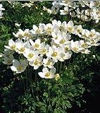 Anemone sylvestris Madonna 1,000 seeds