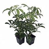 "Creme & Green Hawaiian Schefflera 2 Plants - Great Indoors - 3"" Pot"