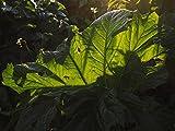LAMINATED 32x24 Poster: Hogweed Leaf Back Light Translucent Leaf Veins Green Large Huge Acanthus Mollis Acanthus Acanthus Plant Acanthaceae Soft Acanthus