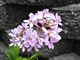 Kawamoto Orchid Nursery Epidendrum radicans 'Pink Powder Puff' Easy to grow Hard to Find! Collector