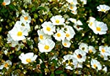 White Rockrose aka Cistus hybridus Live Plant Fit 5 Gallon Pot