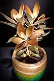 Copper Spoons kalanchoe orgyalis Spoon Rare Succulent Exotic Plant Seed 50 Seeds