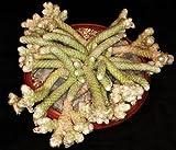 AVONIA PAPYRACEA, exotic succulent rare cactus anacampseros plant seed 30 SEEDS