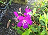 "TIBOUCHINA - DWARF - PURPLE - 1 PLANT - 4"" POT - PREMIUM PLANT"