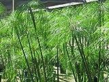 """Cyperus Papyrus plant """"Giganteus"""" live plant"""