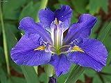 "3 Plant -Louisiana Iris ""Sinfonietta"" BloomEarly and mid-spring"