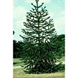 25 Monkey Puzzle Tree Seeds, Araucaria Araucana