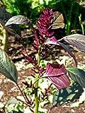 Amaranthus cruentus RED AMARANTH SEEDS!