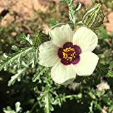Venice Mallow, Flower-of-an-Hour seeds - Hibiscus trionum