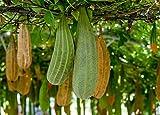 Gourd Luffa / Loofah Non GMO Heirloom Garden Vegetable 50 Seeds Sow No GMO USA