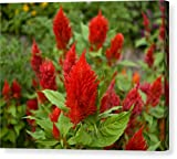 """""""Super Celosia Plumosa Flowers Celosia"""" by National Geographic, Canvas Print Wall Art, 14"""" x 11"""", Mirrored Gallery Wrap, Glossy Finish"""