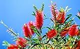 BOTTLE BRUSH PLANT-gorgeous bottlebrush like flowers, semi dwarf, liner/starter plant, (Hydrangeas Shrub, Evergreens, Gardenia