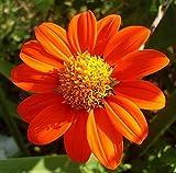Mexican Sunflower Flower Seeds,100+ Premium Heirloom Seeds, (Tithonia rotundifolia), Isla's Garden Seeds, 90% Germination Rates, Highest Quality Seeds