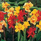 Outsidepride Canna Lily Indica Plant Seed - 25 Seeds