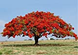Live Red Royal Poinciana Plants - Live Flamboyan Tree - Live Delonix Regia Tree