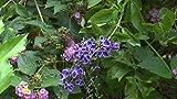 Duranta erecta Blue Periwinkle Pint Plant