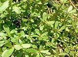 3 Well Rooted of Purslane (Portulaca Oleracea) Plants