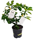 "Meyer Lemon Tree + Certificate -Fruiting Size- 8"" Pot -No Ship TX,FL,AZ,CA,LA,HI"