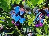 20+ CERINTHE MAJOR PRIDE OF GIBRALTER / BLUE SHRIMP FLOWER SEEDS DEER RESISTANT