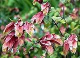Justicia brandegeeana RED SHRIMP PLANT 1 Plant!
