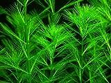 Water Plants Myriophyllum propinquum 1x bunch - Live aquarium plant