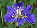 "1 Plant -Louisiana Iris ""Sinfonietta"" BloomEarly and mid-spring"