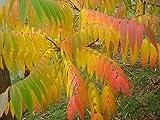 30 FLAMELEAF SUMAC TREE Shining Dwarf Winged Rhus Schmaltzia Copallina Seeds
