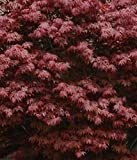 """Japanese Maple Acer palmatum Tree - 3.5"""" potted 1' - 2' tall Healthy Plant - 2 pack by Growers Solution"""