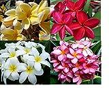 4 HAWAIIAN PLUMERIA PLANT CUTTINGS MIXED ~ GROW HAWAII