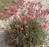 Armeria (Thrift) maritima splendens Laucheana 1,000 seeds