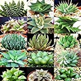 50 Seeds Aloe Vera Mix Air Purification Plant's