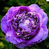 FD696 20 Seeds Chinese Purple Peony Flower Seed Beautiful Hot Flora Garden 20pcs