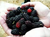 *Seeds and Things 15 Black Mulberry, Morus Nigra, Tree Seeds Hardy, Adaptable, Edible Fruit, Attracts Birds, Wildlife Food, Shade Tree, Drought, Salt and Wind Tolerant