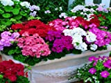 Hot Sale!!! 100pcs Geranium seeds potted balcony planting seasons Pelargonium potted sprouting 95% mixed color flower seeds +Free Rose Gift