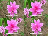 5 Plants Bulbs Pratumrat with White rim Siam Tulip Curcuma Alismatifolia Tropical Fresh and Viable + FREE PHYTO Flower Fresh & Viable From Garden