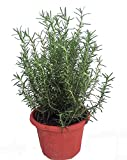 "Tuscan Blue Rosemary Herb Plant- Inside or Out- Easy to Grow- 8"" Decorative Pot"
