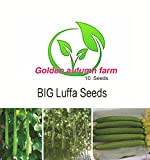 Golden autumn farm- BIG Luffa / Loofah Vegetable Seeds, Plant Matures Quickly (10 Seeds)
