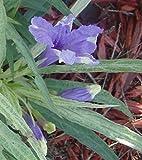 Ruellia brittoniana dwarf variegated Pint Plant