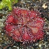 Drosera tokaiensis - sundew - 10 seeds